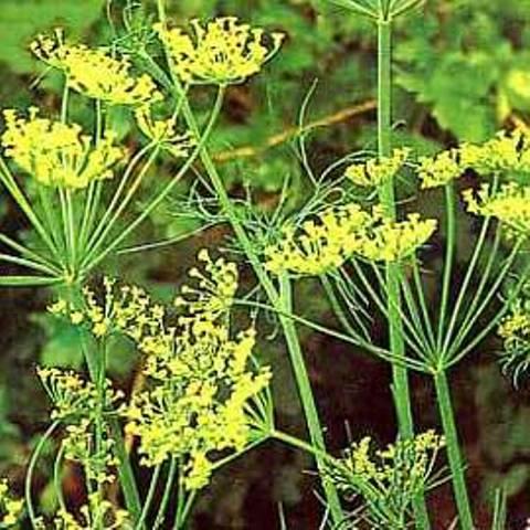 http://fichas.infojardin.com/condimentos/anethum-graveolens-eneldo-aneldo-hinojo-fetido.htm